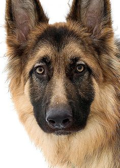 Though I share life with my female Border Collie Joy, I LOVE German Shepherds as they are both working dogs and loyal as all get out.