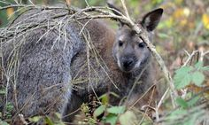 Kangaroo escapes with the help from a boar and s fox!! A Bennett's tree-kangaroo which escaped from a breeder in Germany last year