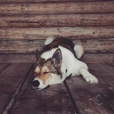 Taking a nap during the coffee break in the snowy forest. Snowy Forest, Take A Nap, Getting Cozy, Coffee Break, Husky, Corgi, Winter, Animals, Outdoor