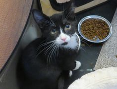 Peanut is a very cute three month year old kitten who has been in a loving foster home.