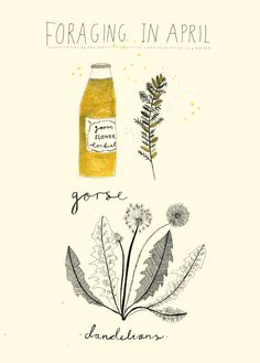 Illustrations by Katt Frank gorse flower cordialhttp://www.eatweeds.co.uk/gorse-flower-cordial-recipe