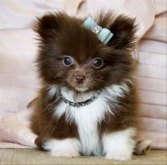 Pomeranian puppy cuteness