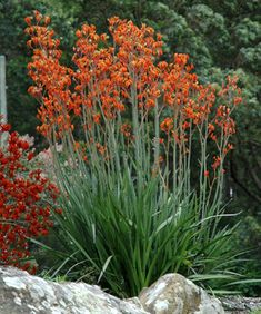 anigozanthos bushrevolution Flowering Spring, Summer, Autumn Aspect Full Sun, Full Sun/Part Shade, Coastal, Drought Tolerant, Light Frost Tolerant, Heat Tolerant Type Australian Native, Bird Attracting, Height to 2m, Width to 1m