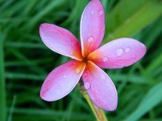 """Seedling of Kaanapali"""