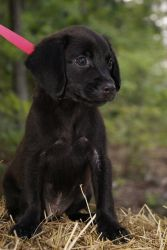 Maggie~ is an adoptable Black Labrador Retriever Dog in Pearl River, NY. Maggie is a sweet little 8 week old female Black Lab puppy surrendered to our rescue in TN. She loves other dogs and really lov...
