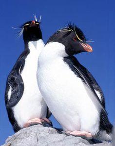 Mike Bacon Photography: Rock Hopper Penguins