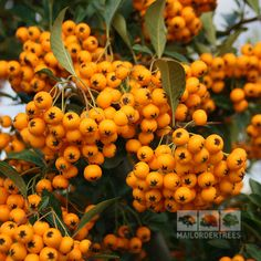 Soleil d'Or firethorn is an evergreen shrub which is upright in habit and has a dense, thorny nest of branches. Evergreen Shrubs, Berries, Pumpkin, Garden, Plants, Climbers, Outdoor, Outdoors, Garten