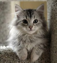 Grey fluffy kitten