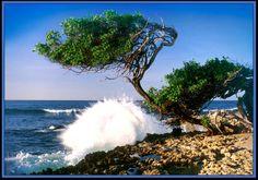 Aruba far side wave breaking in on Divi Divi tree