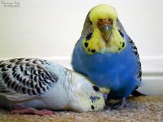 Snuggly Budgies!