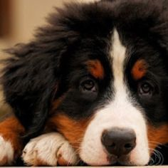 Love to have a Bernese in the family.