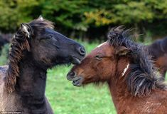 Thanks to a number of breeding programmes in Poland, Romania and the Czech Republic, there. Rare Horse Breeds, Pony Breeds, Rare Horses, Carpathian Mountains, Eastern Europe, World War Two, Ponies, Czech Republic, Romania