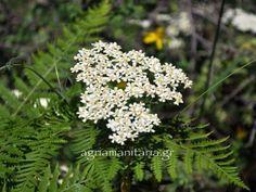 Achillea_millefolium_2