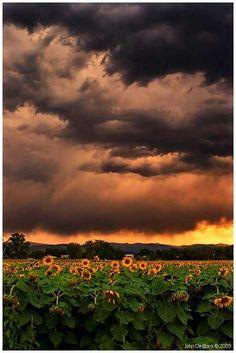 Sunflowers below a haunted sky