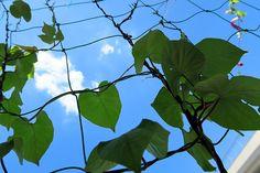 2015年7月15日(水)こんにちは。ドーーーーンと広がる青い空。真夏日も今日で何日目???元気なのは「ヒルガオ(宿根あさがお)」だけ。そろそろ雨が降ってくれたら嬉しいな~なんて思うと台風11号が接近中。極端すぎるわ...。直撃するっぽいので備えが必要ですね。今日明日中に買い物と、飛んだり倒れたりしそうなものを整理しておこうと思います(^^  それでは、今日も皆様にとって良い1日になりますように☆ 【加古川・藤井質店】http://www.pawn-fujii.jp/