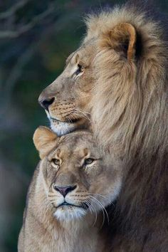 Lion couple (by old.gear)big cat lion couples king of beasts cat Big Cat Family, Lion Family, Animals And Pets, Baby Animals, Cute Animals, Wild Animals, Beautiful Cats, Animals Beautiful, Beautiful Couple