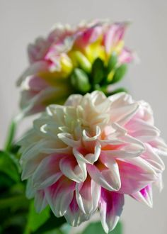 Dahlias are gorgeous full bloom Summer flowers that make great cut flower arrangements.