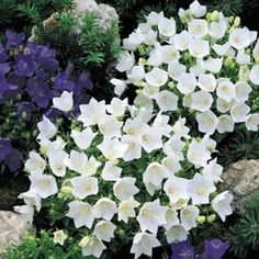 Campanula Carpatica White - short, good for edging Height: 8 inches