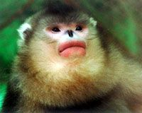 another snub-nosed monkey