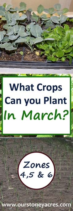 March has arrived in your garden! This March Planting Guide will give those of you that live in Zones 4-6 a good idea of what seeds can be planted directly in the garden and what seedlings you need to be planting indoors during the month of March!