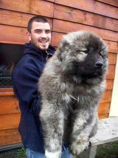 Caucasian ovacharka, Russian Mountain Dog. I want this it's a bear dog. I want a bear dog