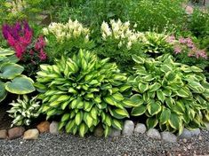 Главное достоинство хост заключается в том, что они хорошо растут практически в любых условиях. Но как правильно сочетать их с другими растениями?