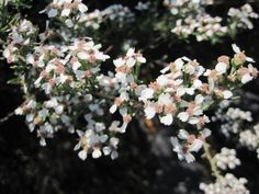 Eriocephalus africanus is recommended in traditional practice as a diuretic for the treatment of oedema, as a remedy for gynaecological and gastric disorders, as a diaphoretic and haemostatic. Diuretic, Medicinal Plants, Shrubs, Disorders, Homesteading, Trees, African, Traditional, Cooking