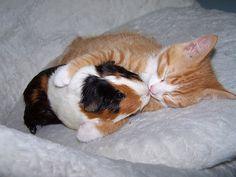 Vriendschap kat en cavia