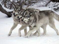 Well, wolves, actually, but still canis lupus, and still adorable. Beautiful Wolves, Animals Beautiful, Cute Animals, Wild Animals, Raven And Wolf, Lone Wolf, Wolf Photos, Wolf Pictures, All About Wolves