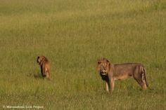 Matusadona Lion Project Zimbabwe, Lions, Panther, National Parks, Cats, Animals, Lion, Gatos, Animales