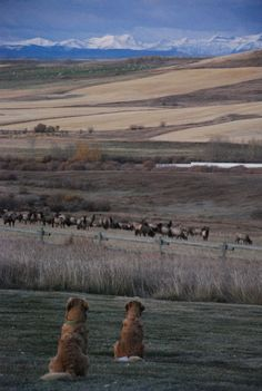 Before sunrise, Pete and Ruby watch a herd of Elk on the other side of their fence at their home in the country, southwest of Calgary, Alberta