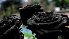 Black Rose Bush Flower Seeds Beautiful Plant Garden DIY Home , PERENNIAL , non gmo, high germination. Goth garden of your dreams. Black Rose Flower, Black Flowers, Metal Flowers, Black Roses, Rose Flowers, Black Dahlia, Dahlia Flower, Green Rose, Flowers Nature