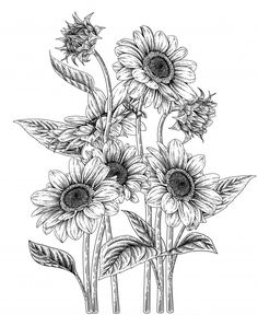 Sunflower Sketches, Sunflower Drawing, Beautiful Flower Drawings, Flower Art Drawing, Vintage Illustration Art, Floral Illustrations, Sunflower Coloring Pages, Sunflower Canvas, Easy Doodles Drawings
