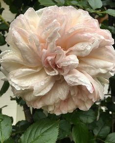 I've just taken this photo of Blushing Pierre de Ronsard which is growing in the pergola in front of the dining room.. I have four of these in the garden and I HIGHLY recommend them.  Not only are they utterly beautiful, but their healthy canes and leaves are@remarkably disease resistant!.. a real beauty!.. #rose #blushingpierrederonsard #climber #home #mygarden #beautiful #garden #gardendesign