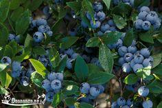 Узнайте, как лучше ухаживать за садовой голубикой, чем подкормить и удобрить ягоду, как и когда проводится обрезка, как подготовить голубику к зиме и чем укрыть?