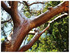 Image result for gumbo limbo Gumbo, World, Plants, Image, Inspiration, Okra, Biblical Inspiration, The World, Plant