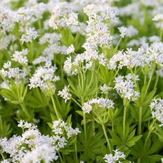 Who likes the smell of woodruff and who doesn't? Herbs, Plants, Instagram, Herb, Plant, Planets, Medicinal Plants