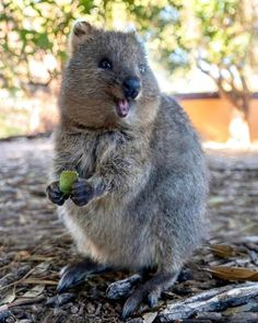You came here because of something — blasting-silence: Quokkas by cruzysuzy on. Beautiful Creatures, Animals Beautiful, Funny Animals, Cute Animals, Quokka, Wombat, Chipmunks, Nature Animals, Spirit Animal