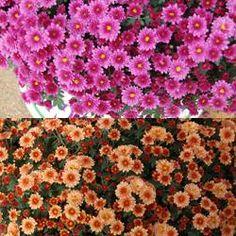 Belgian Mum® Staviski Orange & Staviski Pink | Greenhouse Product News Garden Mum, Autumn Trees, Color Mixing, Gardens, Orange, News, Fall, Flowers, Plants