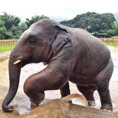 """I'm a handsome young bull"" Navann said! Elephant Nature Park, Elephant Sanctuary, Asian Elephant, Elephant Love, Save Animals, Animals And Pets, Wild Animals, Beautiful Creatures, Animals Beautiful"