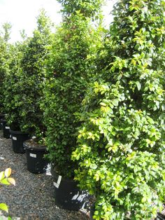 Back fence Syzygium australe 'AATS' PBR Pinnacle™' / Library − Speciality Trees Privacy Hedge, Privacy Plants, Privacy Fences, Australian Garden Design, Australian Native Garden, Boarder Plants, Mt Tamborine, Screen Plants, Garden Hedges