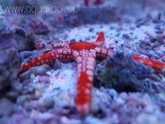Fromia molinis Octopus, Animals, Animaux, Animal, Calamari, Animales, Squidbillies, Octopuses, Animais