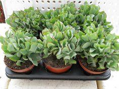 Cactus Serrano :: Cactus y Suculentas