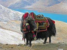 tibet animals - Google 搜尋
