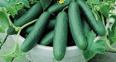 """The Organic Muncher Cucumber is smooth, with med green 9"""" fruits, on strong vigorous vines. Seeds available now at gardenbunch.com/marketplace!"""