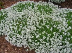 Learn how to grow alyssum in the garden in this article. Includes information on planting, growing and varieties of alyssum in New England