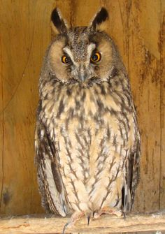Long Eared Owl – It doesn't have long ears, but rather long tufts of feathers called ear tufts that resemble ears.