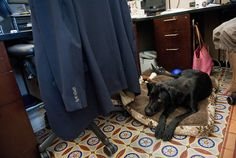 Scooter, a black lab, lays on floor of the Senate print gallery in the Capitol during the August Congressional recess. (Photo By Tom Williams/Roll Call)