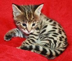 Drinkwater Bengal and Savannah Cats
