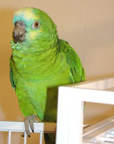 Blue-fronted Amazon as pet.